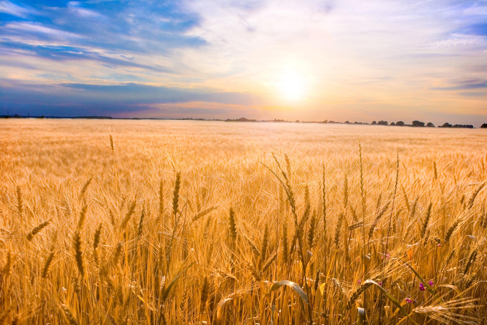 Golden wheat ready for harvest growing in a farm field under blu